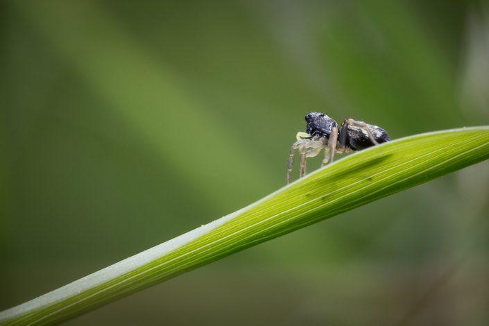 Heliophanus aeneus - Femelle - Salticidae