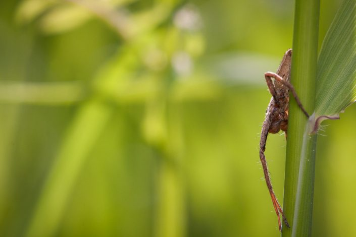 Pisaure admirable (Pisaura mirabilis)