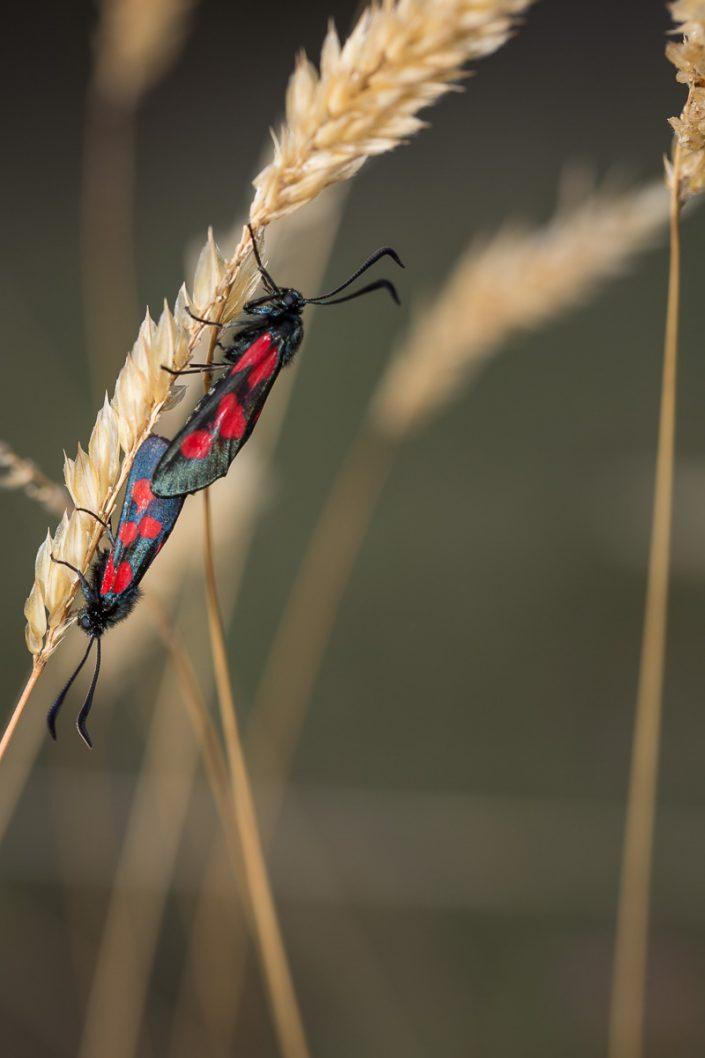 Zygaena lonicerae (lépidoptère)