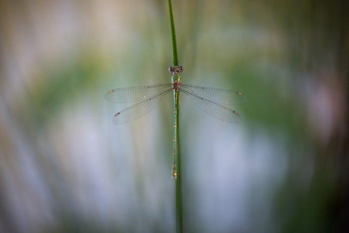 Leste vert (Leste viridis) - 07/2018